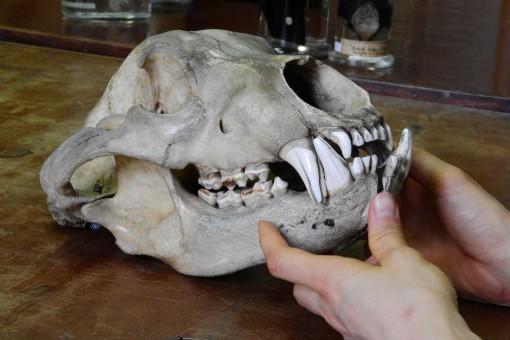 Fotos gratis : oso, cuerno, cráneo, hueso, de cerca
