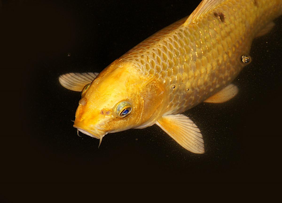 Free fotobanka oran ov lut ryba koicarp zlat for Fraie carpe koi