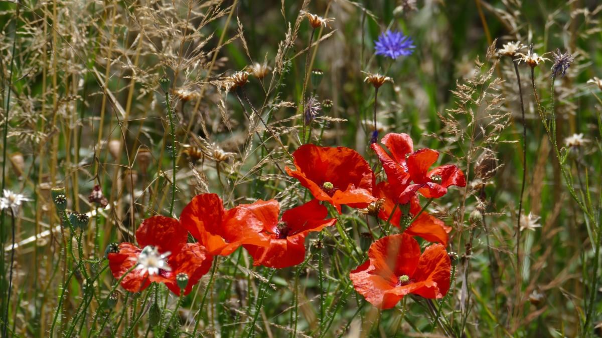kostenlose foto natur gras bl hen wiese pr rie sommer rot botanik blau flora. Black Bedroom Furniture Sets. Home Design Ideas