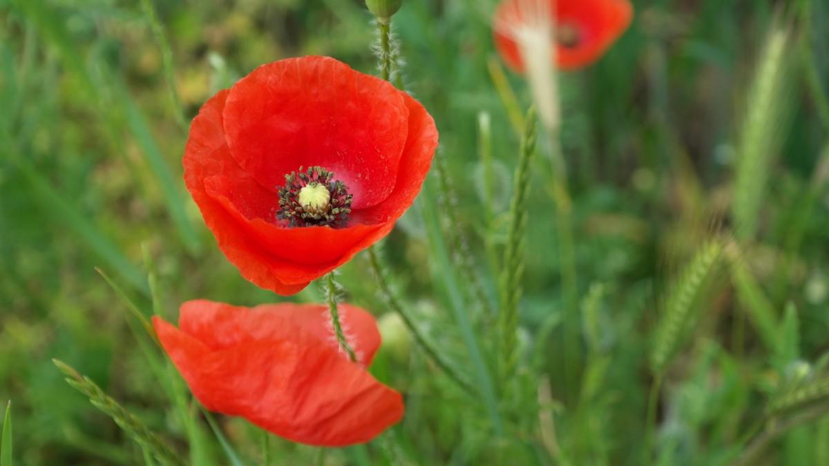 thiên nhiên cỏ thực vật cánh đồng đồng cỏ hoa Cánh hoa Mùa xuân Đỏ Thực vật học Hệ thực vật Hoa dại Đỏ tía Cây anh túc Coquelicot Chụp macro thực vật có hoa Thân cây Nhà máy đất Gia đình anh túc