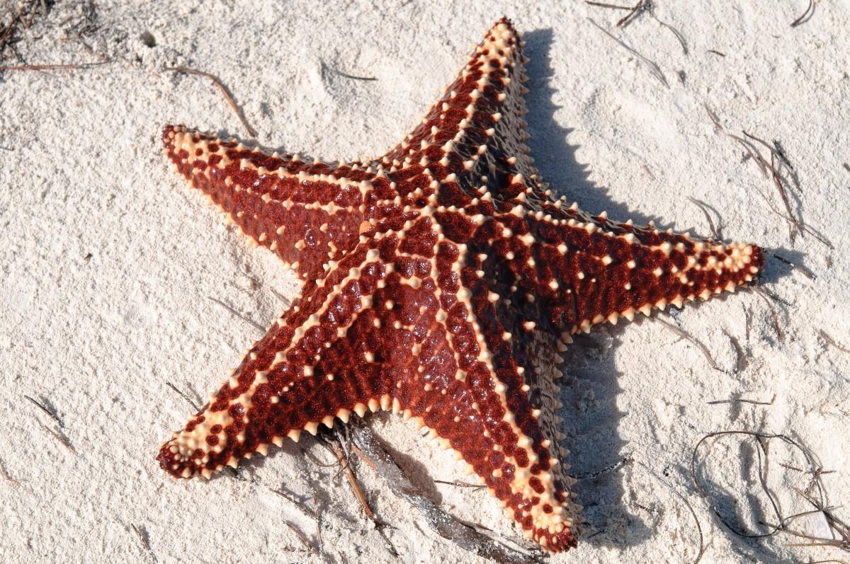 Estrella-marina-asexual-reproducción-sin-pareja