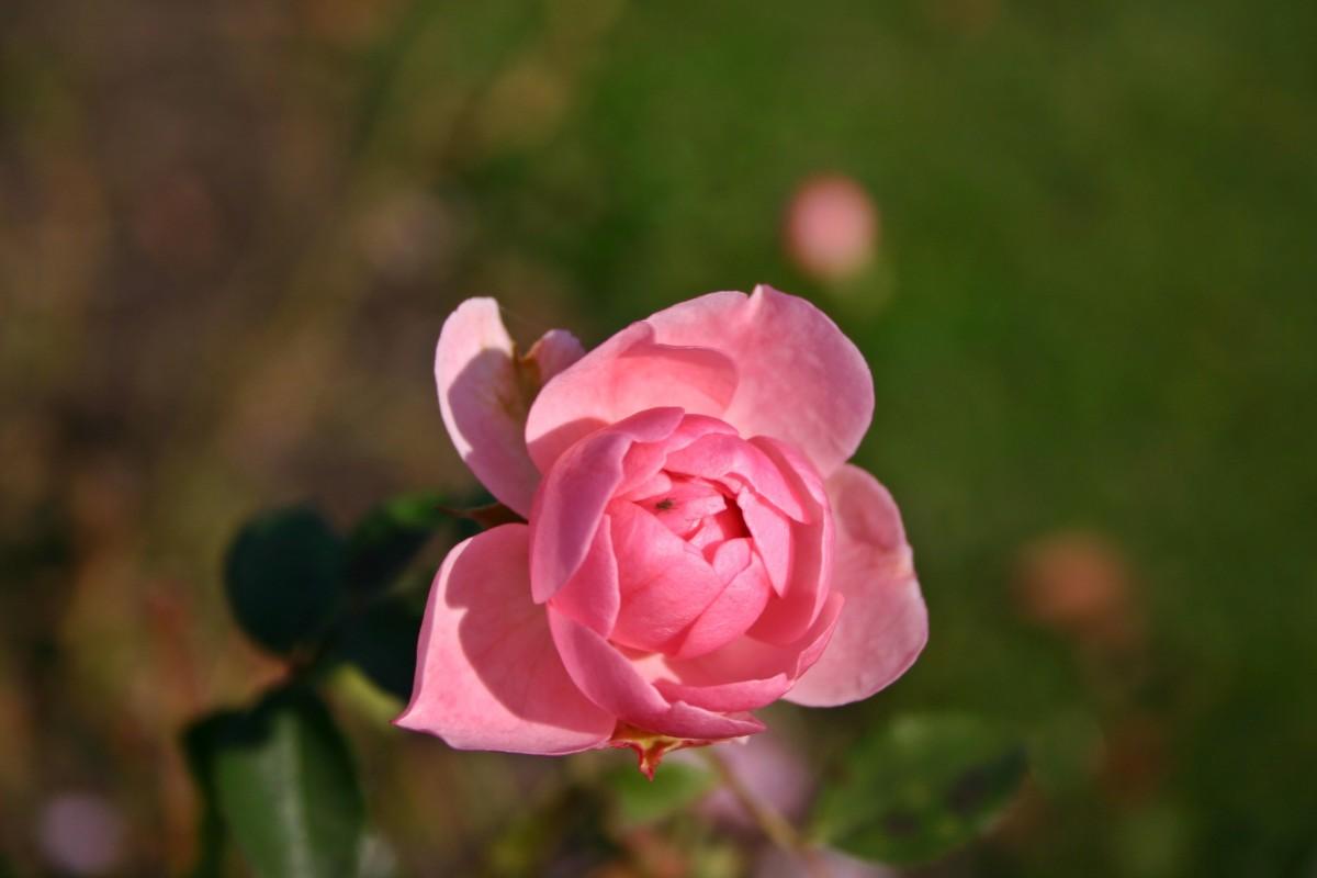 Картинки с распускающейся розой, открытки спокойной