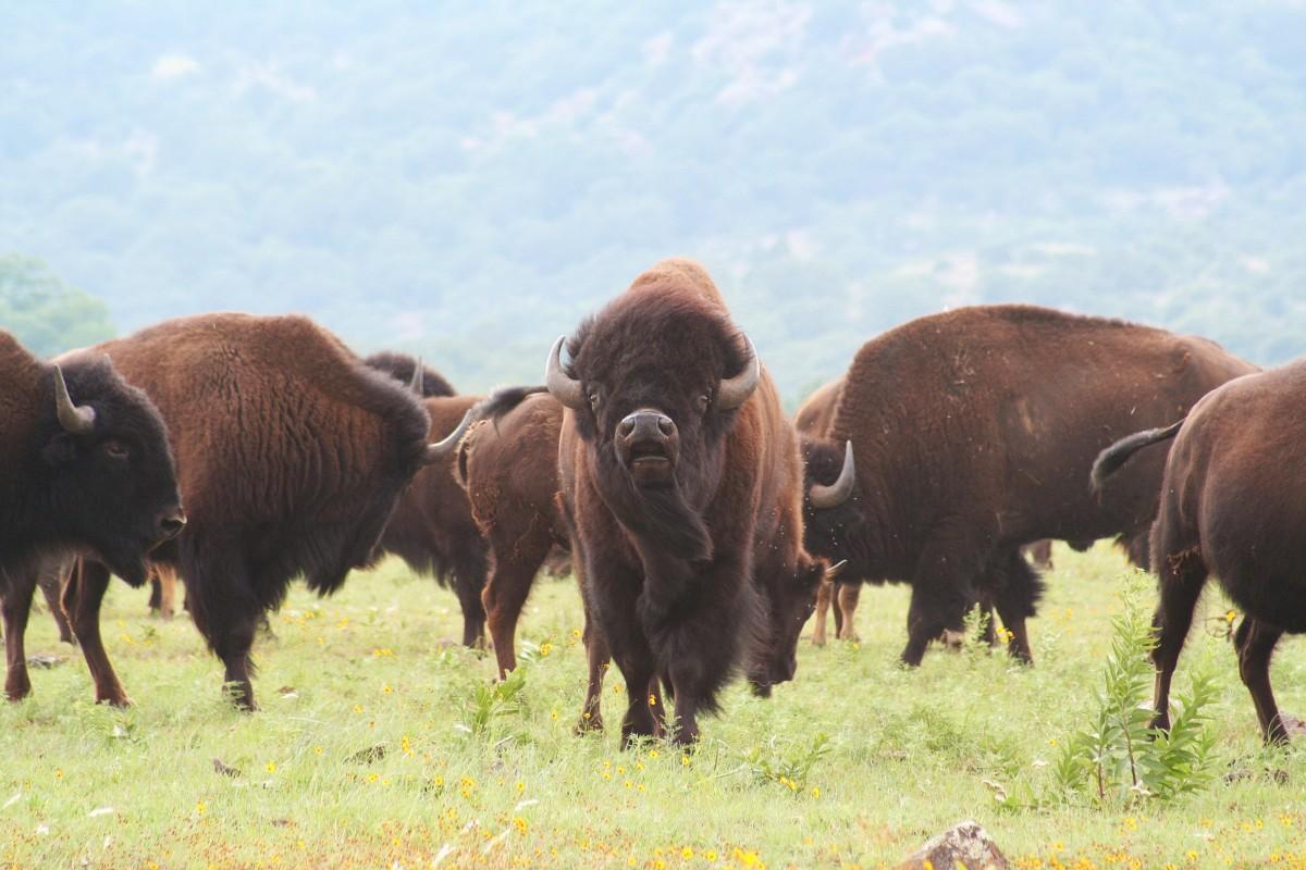 American buffalo images