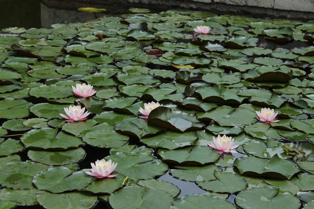 Free images leaf flower petal lake pond green botany frog water nature plant leaf flower petal izmirmasajfo Image collections