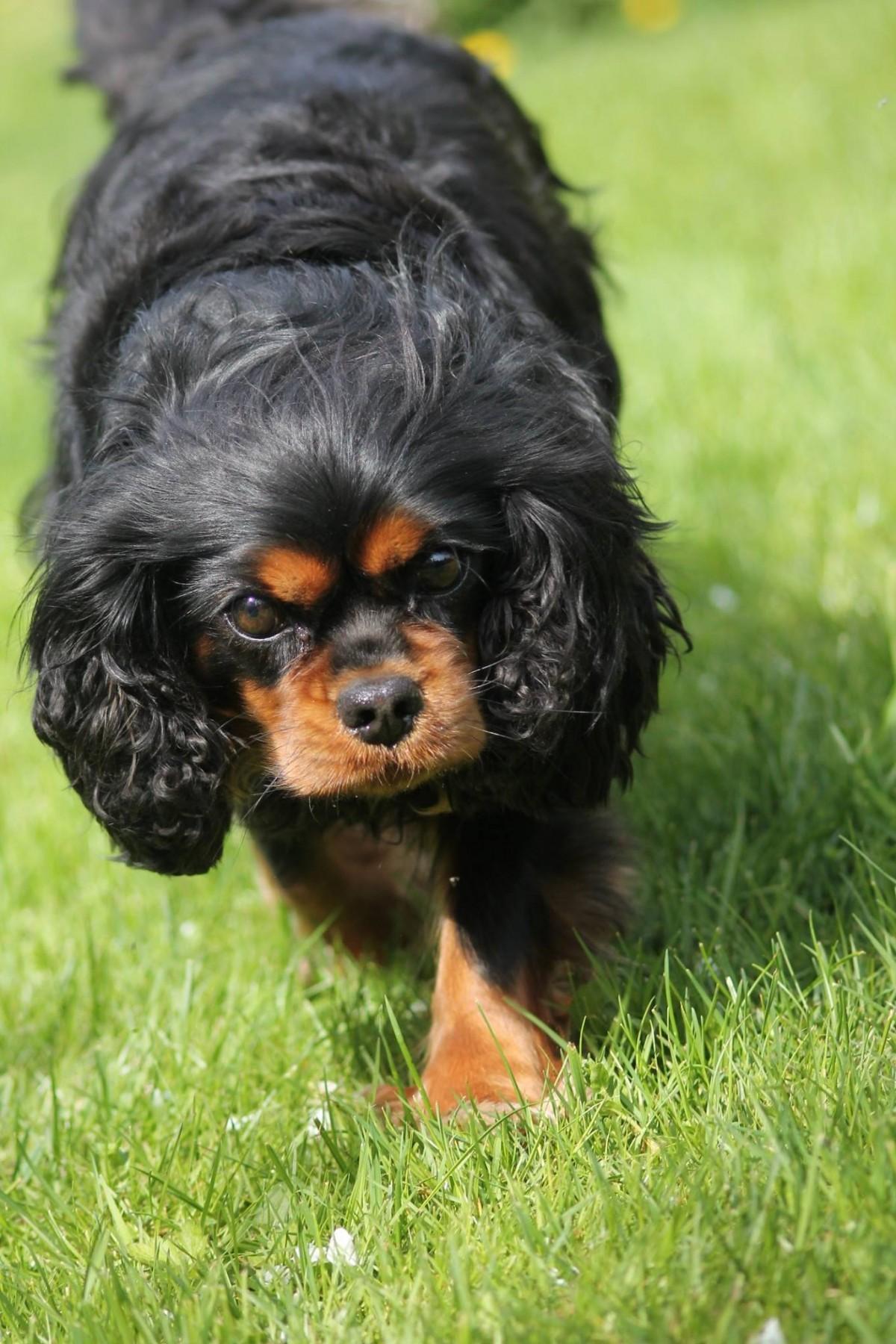 gratis billeder hundehvalp dyr nuttet hunde k ledyr beh ret hvirveldyr yndig hunderace. Black Bedroom Furniture Sets. Home Design Ideas