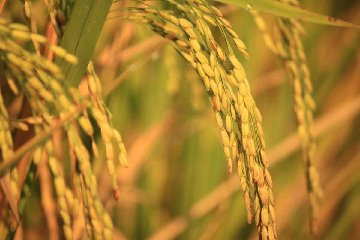 Free Images : branch, sun, field, prairie, view, harvest