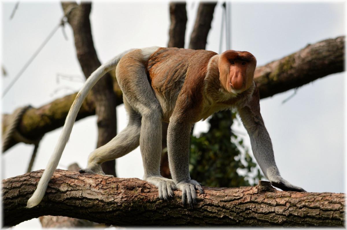 Long nosed monkey meme