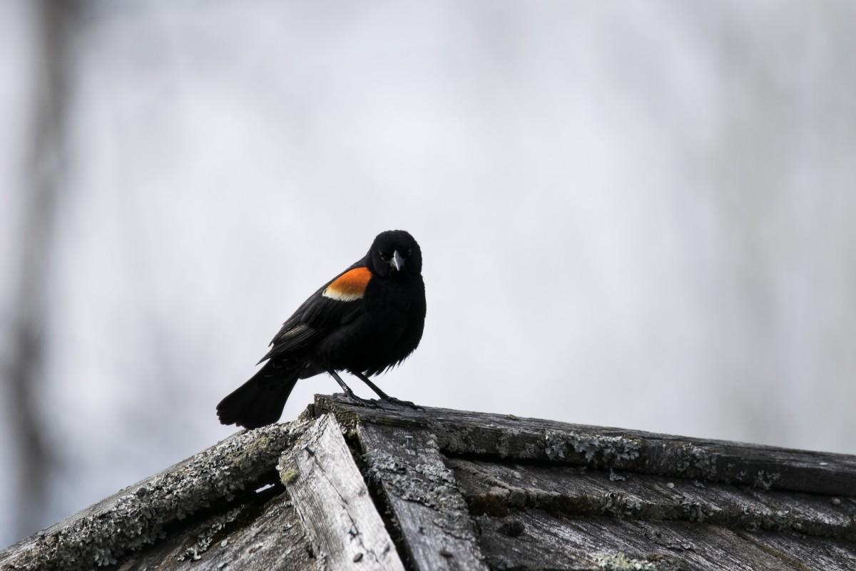 Images gratuites la nature branche oiseau aile faune for Oiseau bec rouge