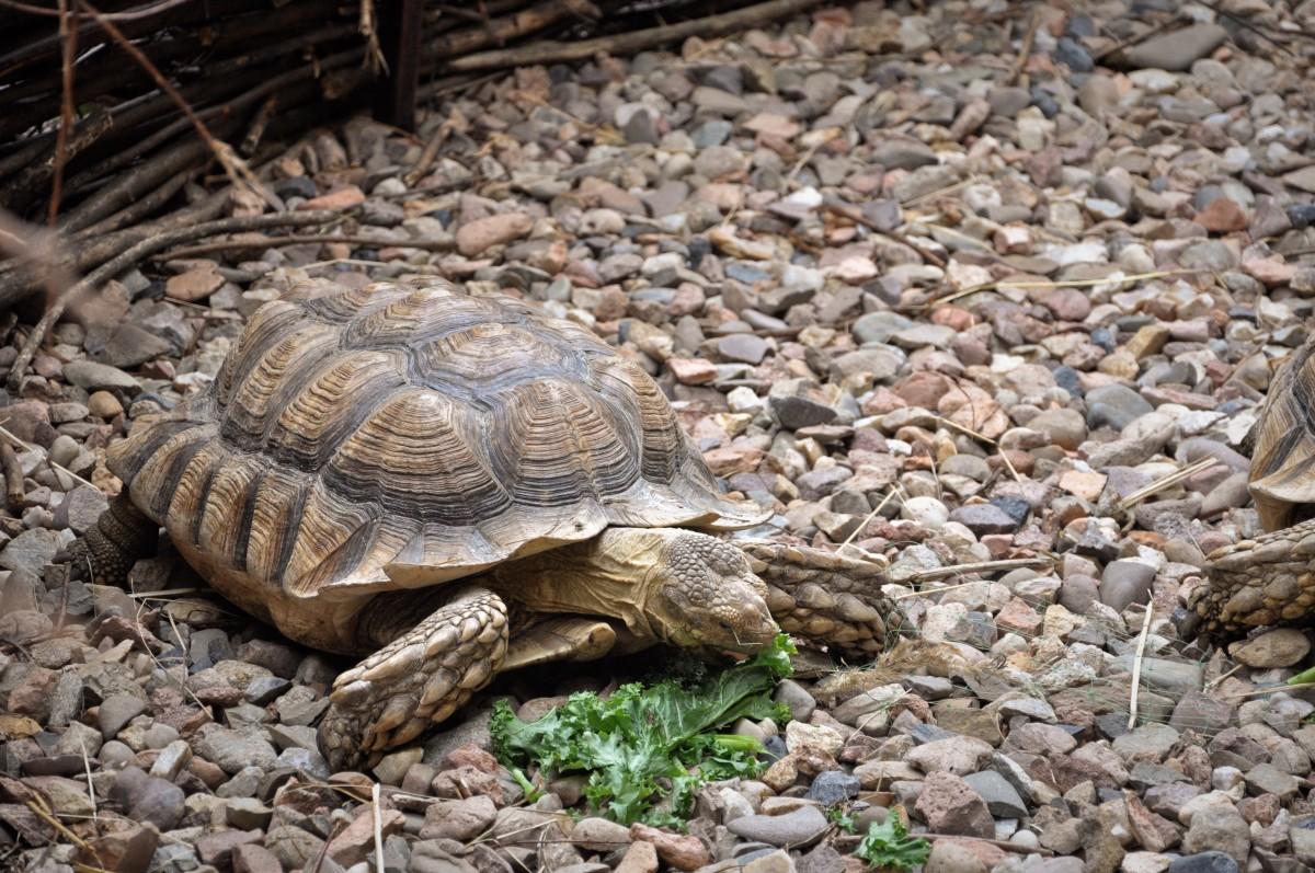 Kostenlose foto : Tier, Tierwelt, Zoo, Schildkröte, Reptil, Fauna, Wirbeltier, Schildkröten ...
