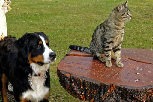 la nature,chien,chat,canin,félin,tigré