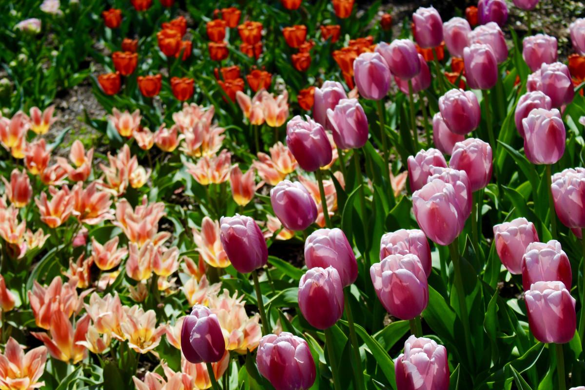 images gratuites herbe champ prairie p tale floraison tulipe orange flore image sympa. Black Bedroom Furniture Sets. Home Design Ideas