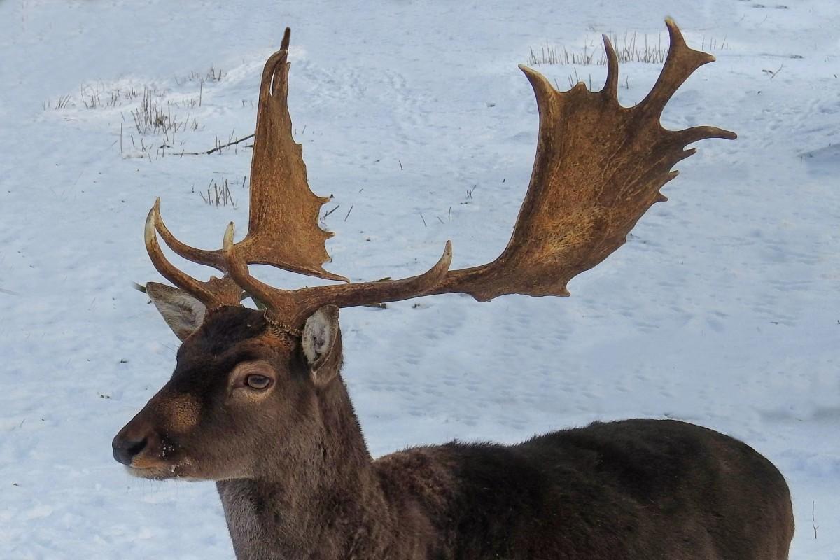 Balise défaillante au pays des caribous Hirsch_antler_fallow_deer_wild_nature_mammal_scheu_antler_carrier-1373057