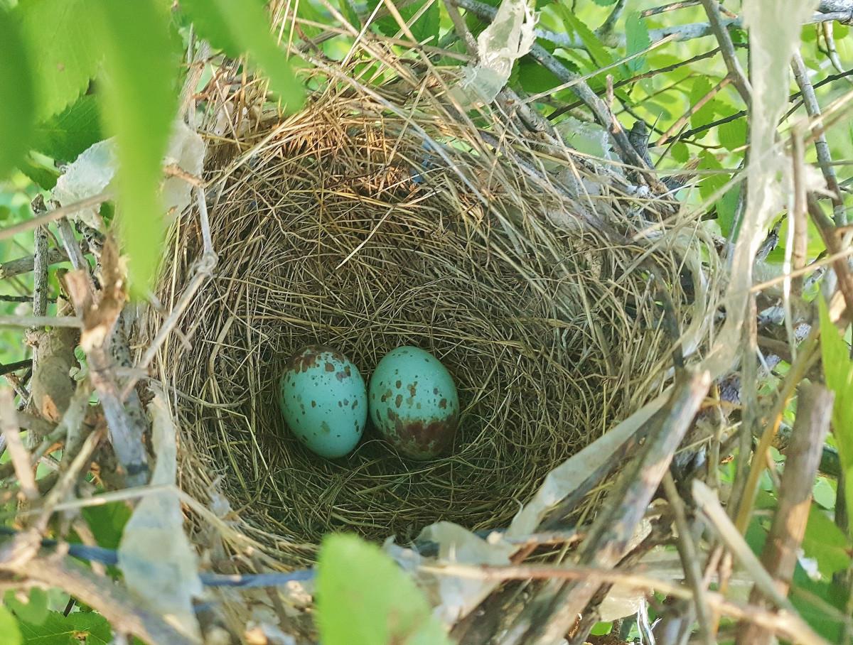 Pictures of mockingbird eggs