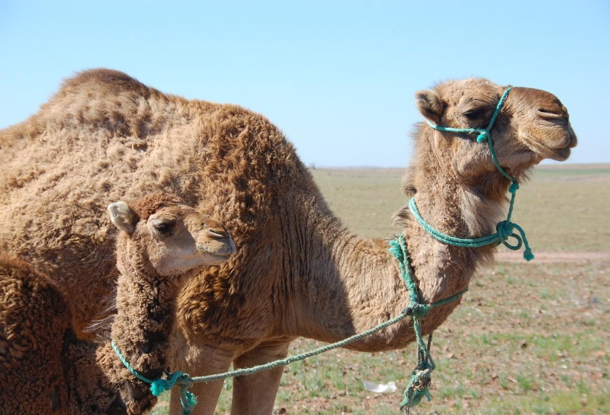 картинки верблюд баран раньше