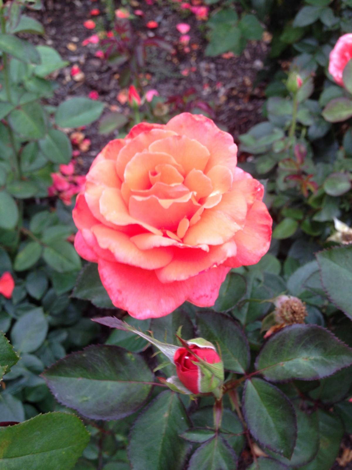 kostenlose foto blume bl tenblatt rosen strauch floribunda bl hende pflanze gartenrosen. Black Bedroom Furniture Sets. Home Design Ideas