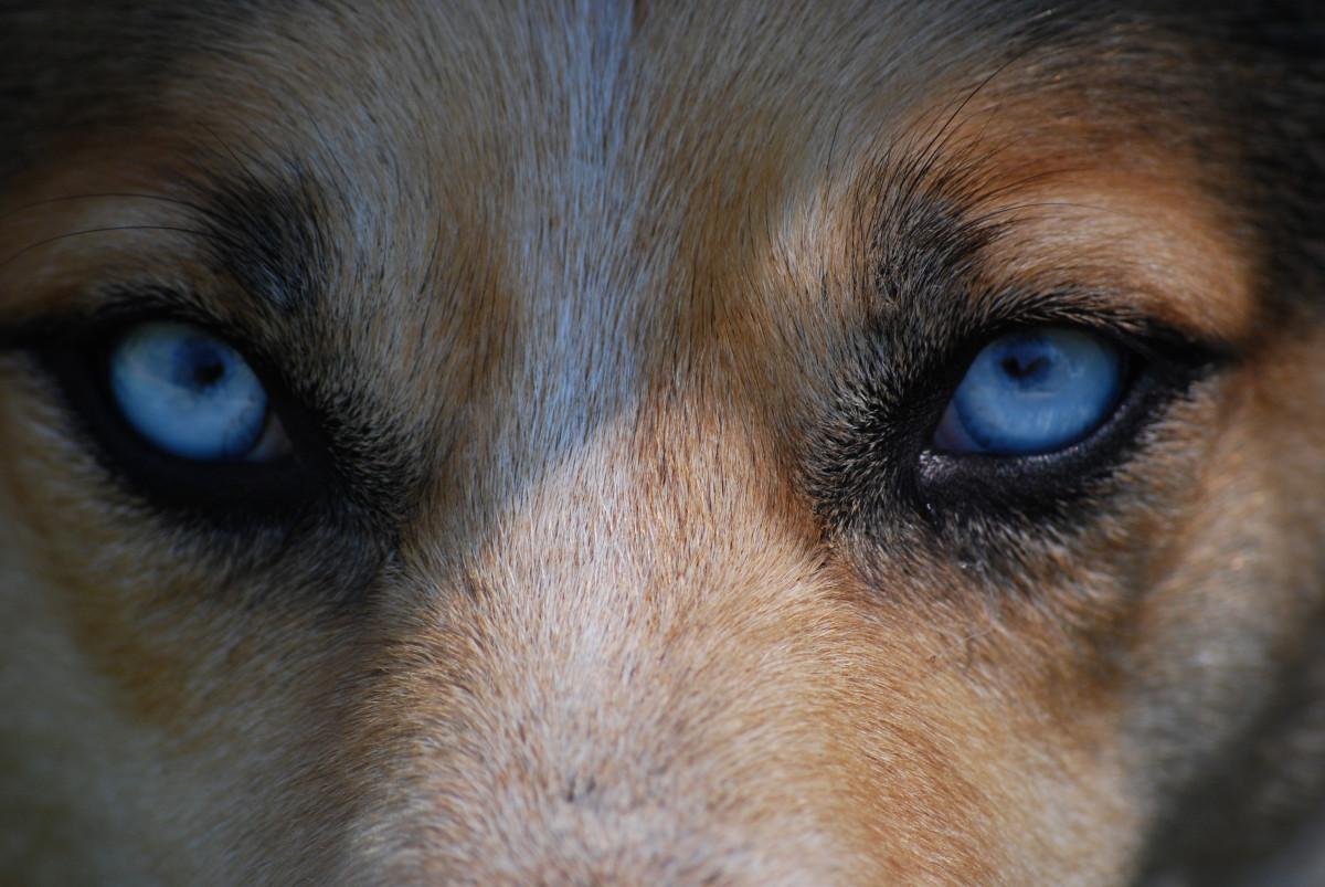 Dog With Blue Eye Breed
