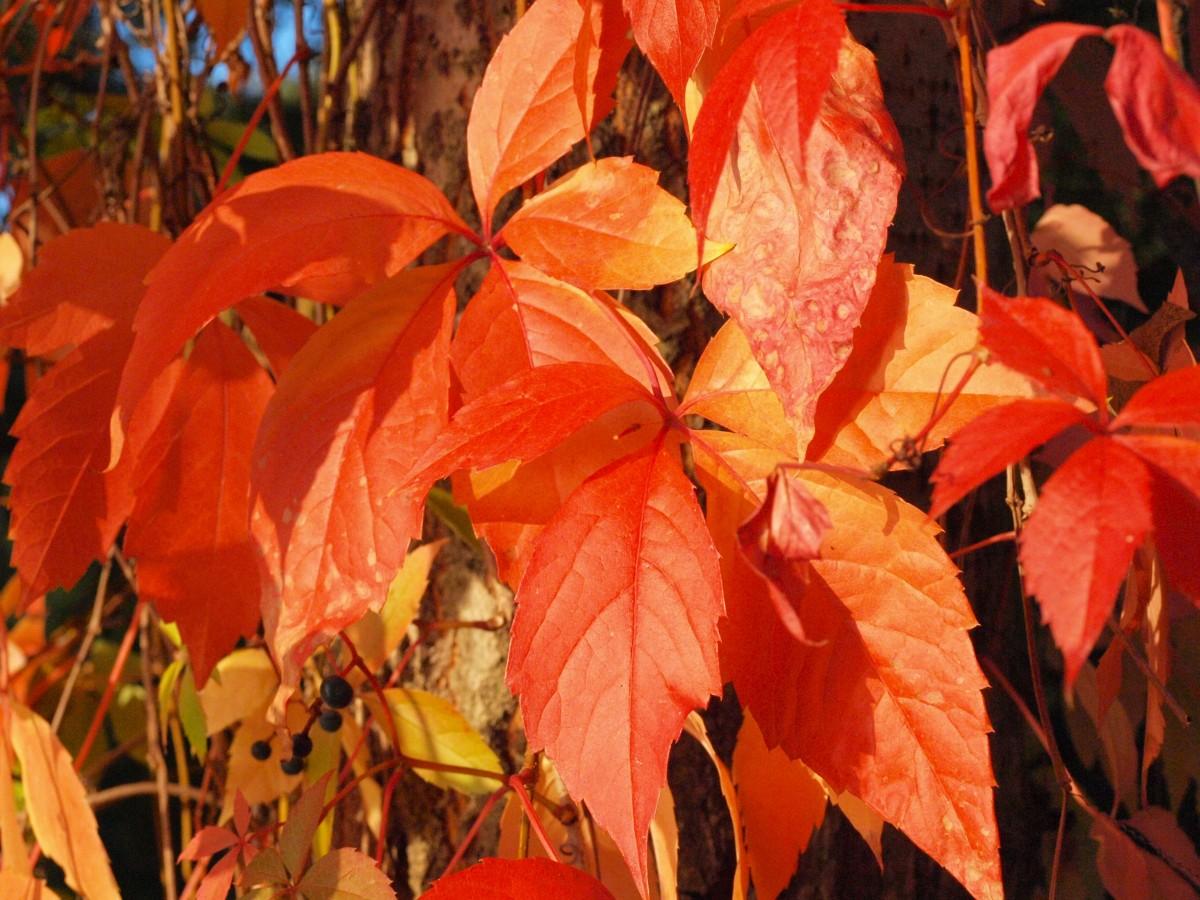 Images gratuites arbre fleur rouge l 39 automne saison rable feuille d 39 rable feuilles - Arbres a fleurs rouges ...