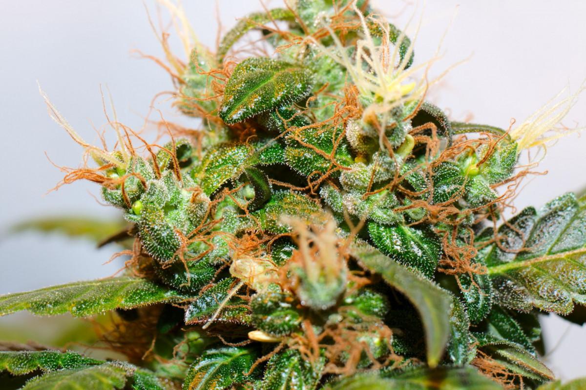Kannabis Kasvi