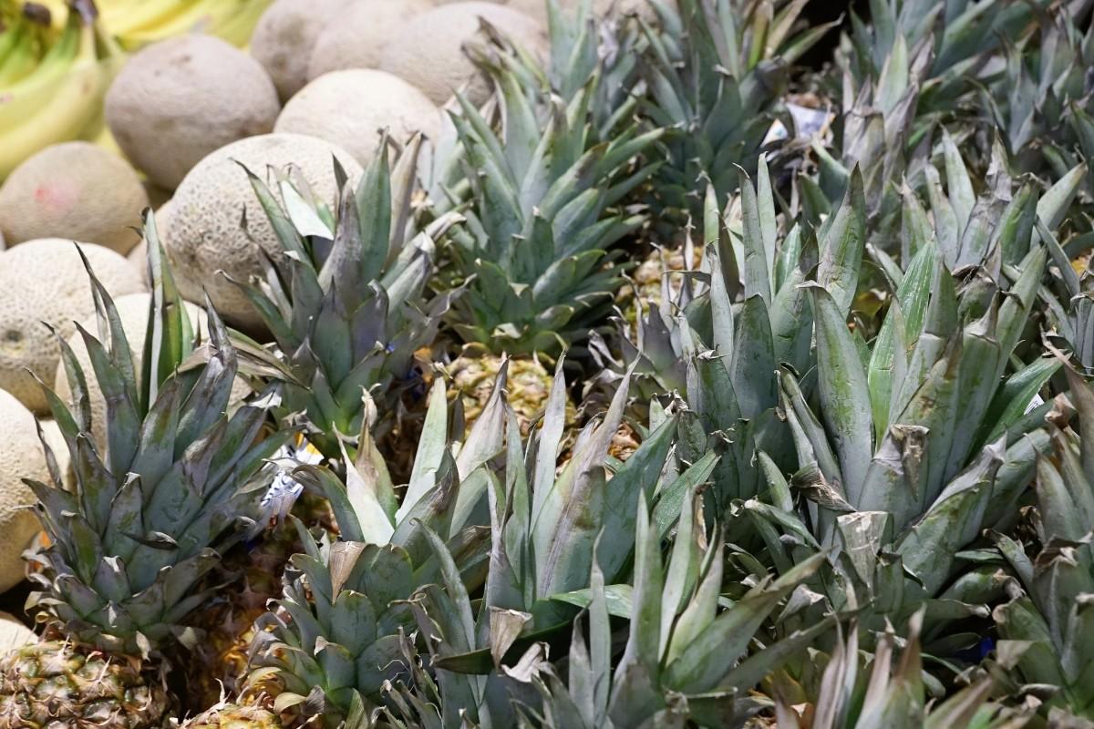 Aloe In Giardino immagini belle : fiore, cibo, verde, produrre, crescere