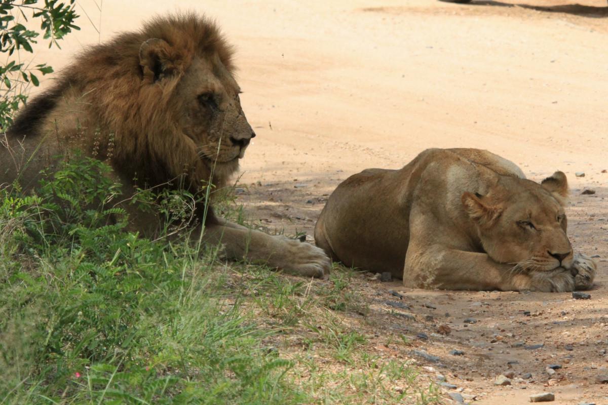 Fotos gratis fauna silvestre zoo mam fero le n animales leones safari sud frica - Leones apareamiento ...