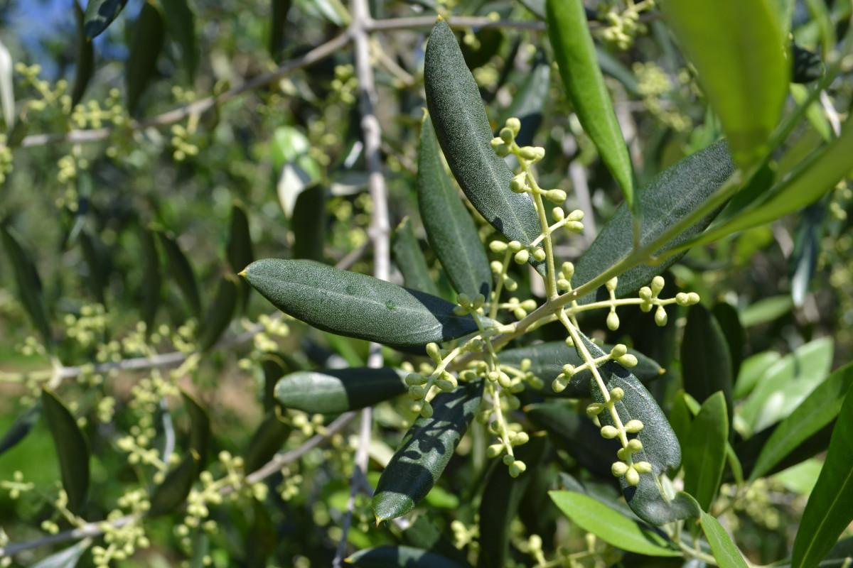 Оливки или маслины в чём разница и польза? Разновидности 99