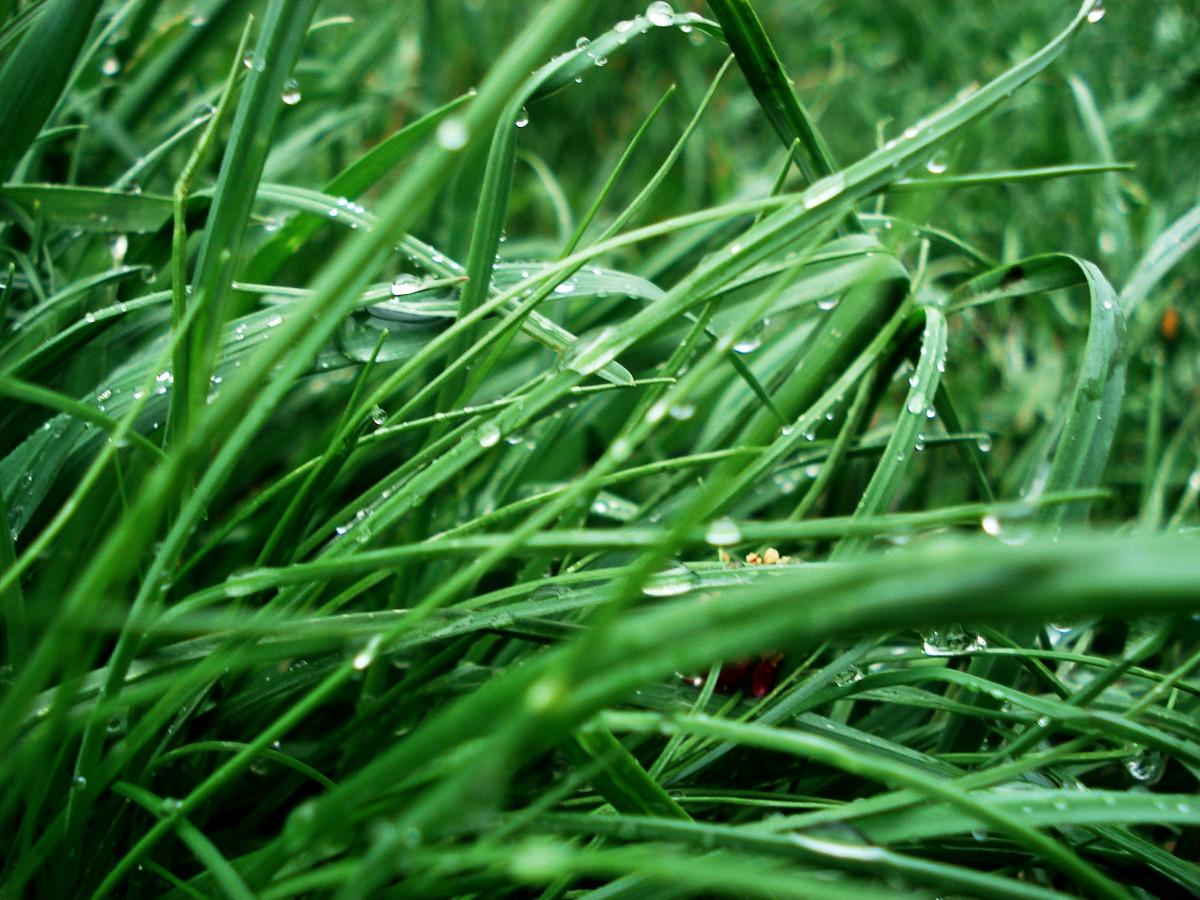 free images   nature  grass  drop  dew  leaf  flower