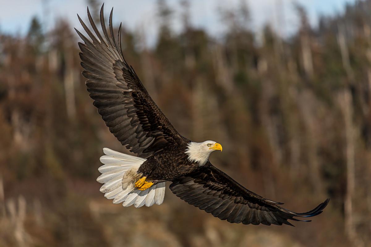 Free Images : wing, kite, beak, soaring, hawk, fauna, bird ...