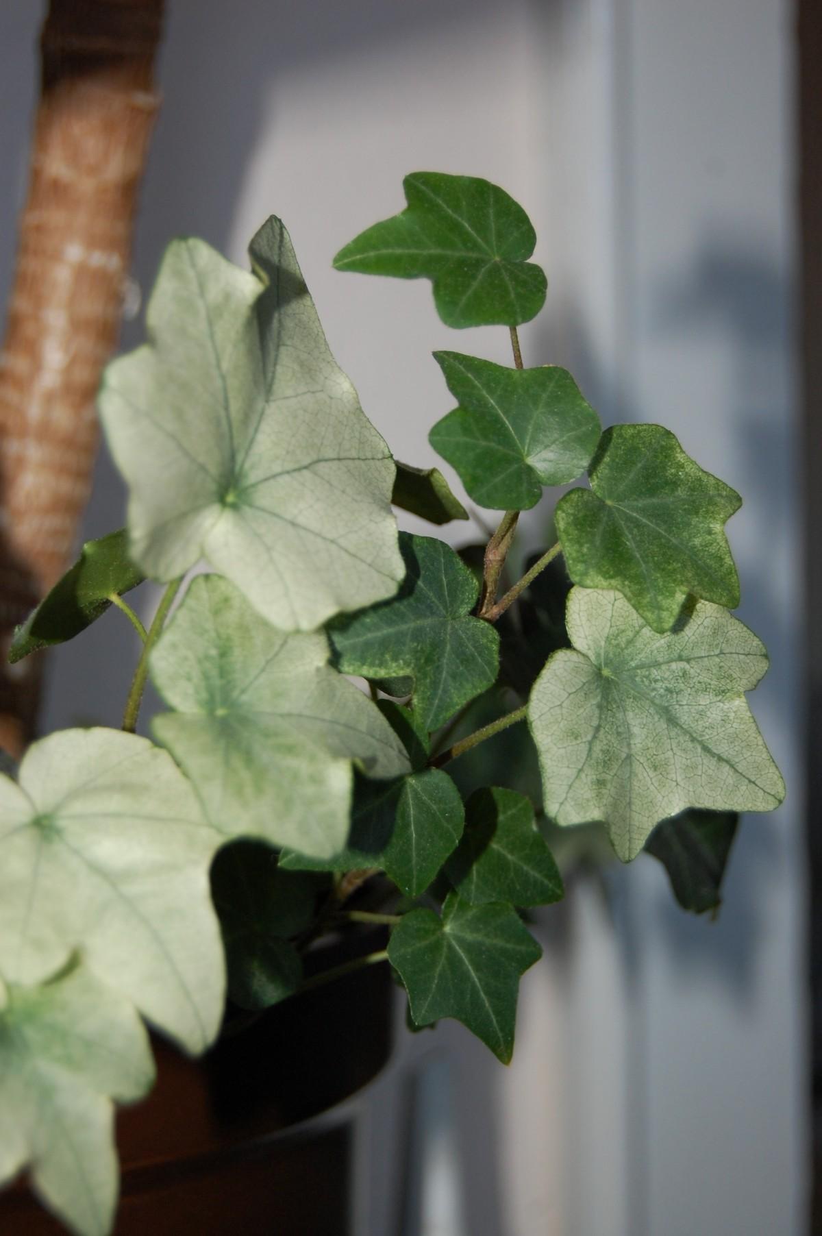 Images gratuites arbre fruit feuille fleur aliments for Plante 7 feuilles
