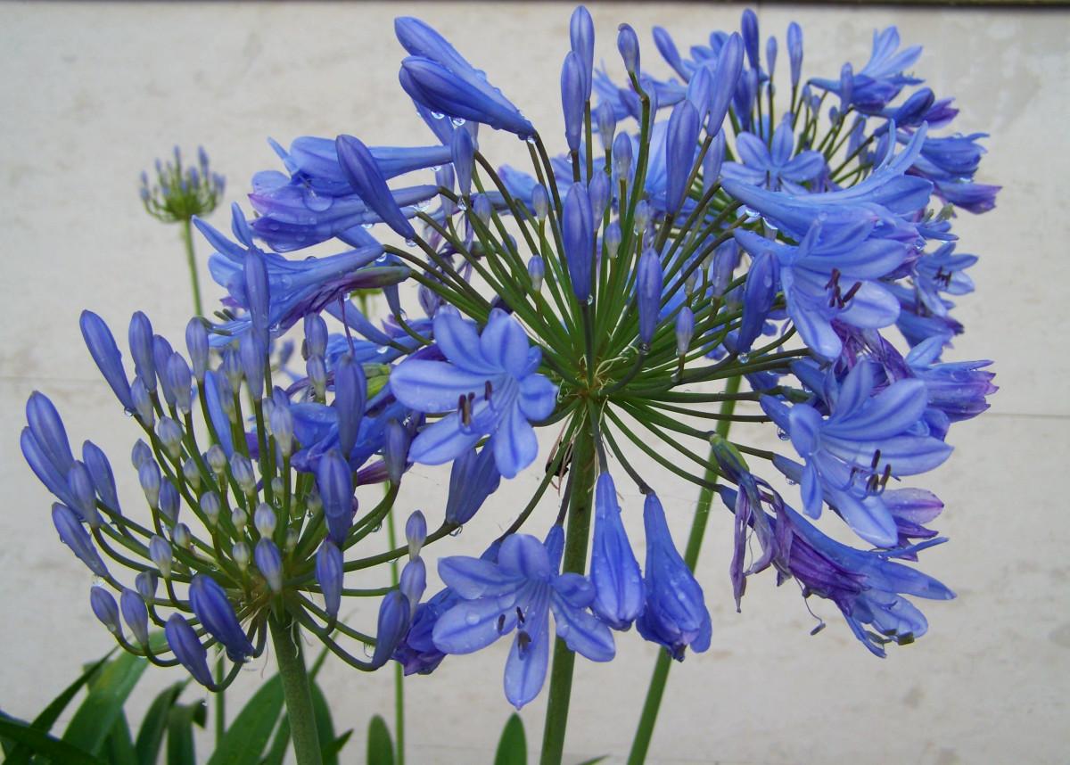 Gratis Afbeeldingen Fabriek Kruid Plantkunde Blauw