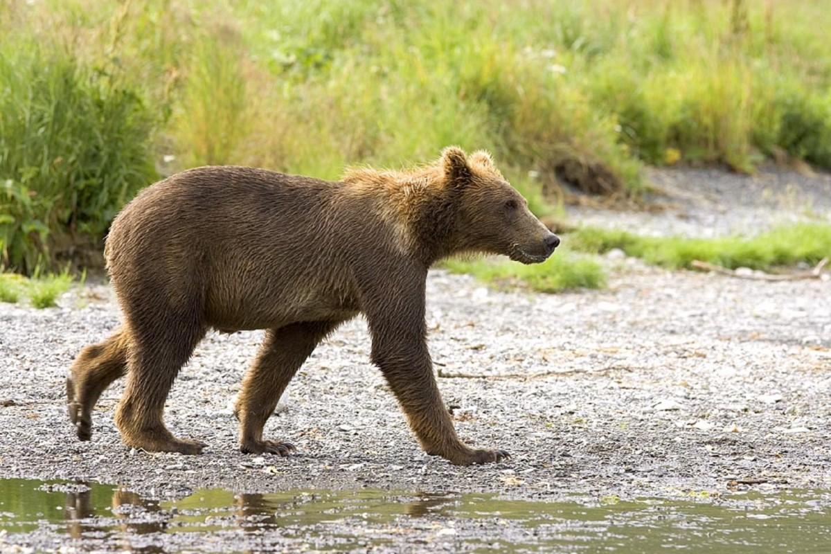 nature, walking, cute, bear, wildlife, wild, young, brown, mammal, baby, fauna, brown bear, furry, vertebrate, cub, grizzly bear