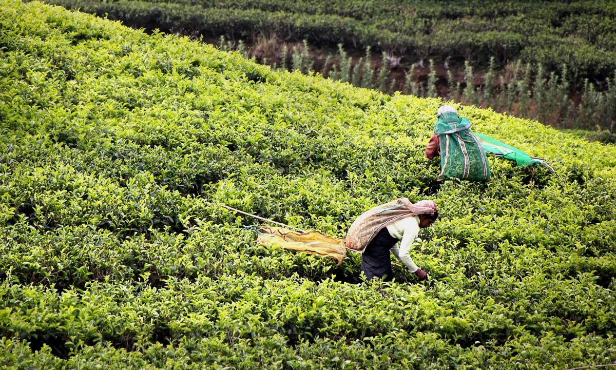 Выращивание зелёный чай 58