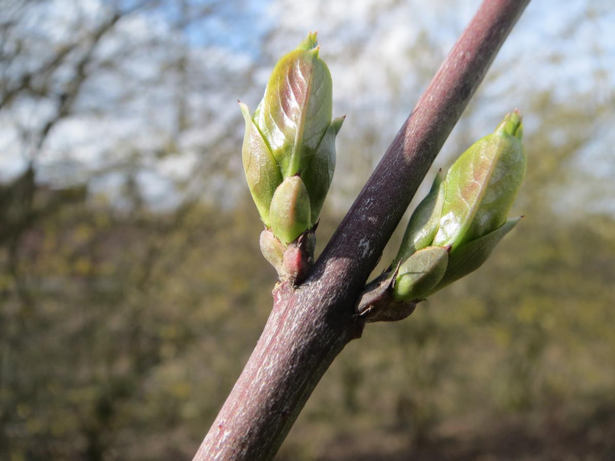 Images gratuites arbre branche fleur feuille for Plante 7 feuilles