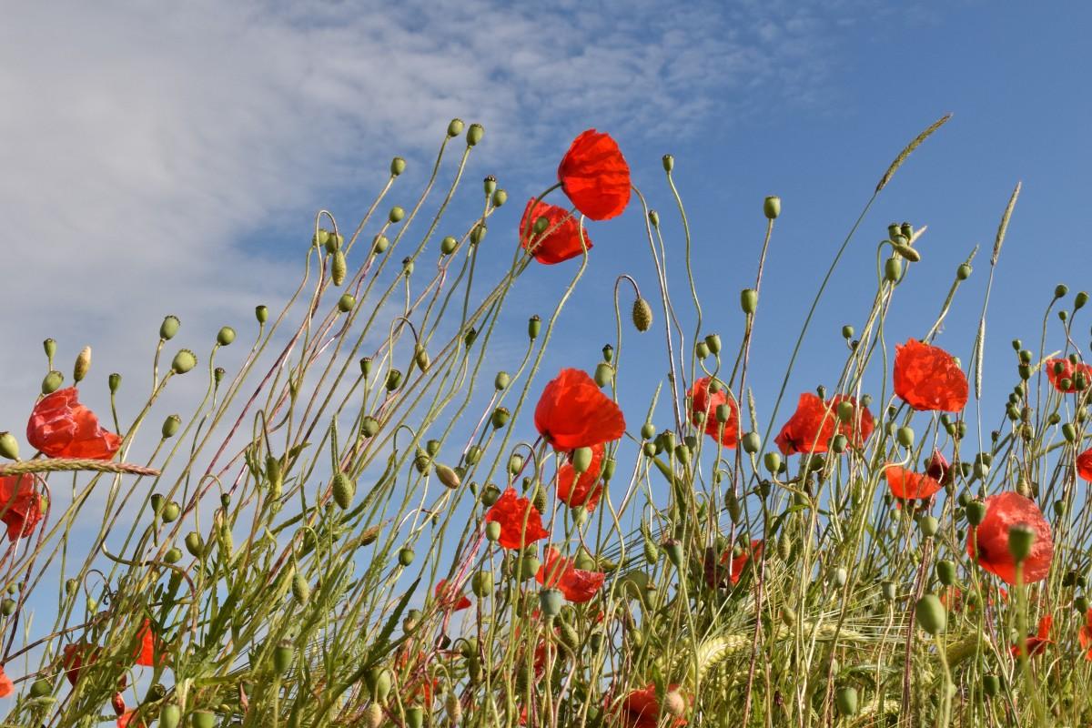 kostenlose foto natur gras bl hen himmel wiese pr rie blume sommer rot flora. Black Bedroom Furniture Sets. Home Design Ideas