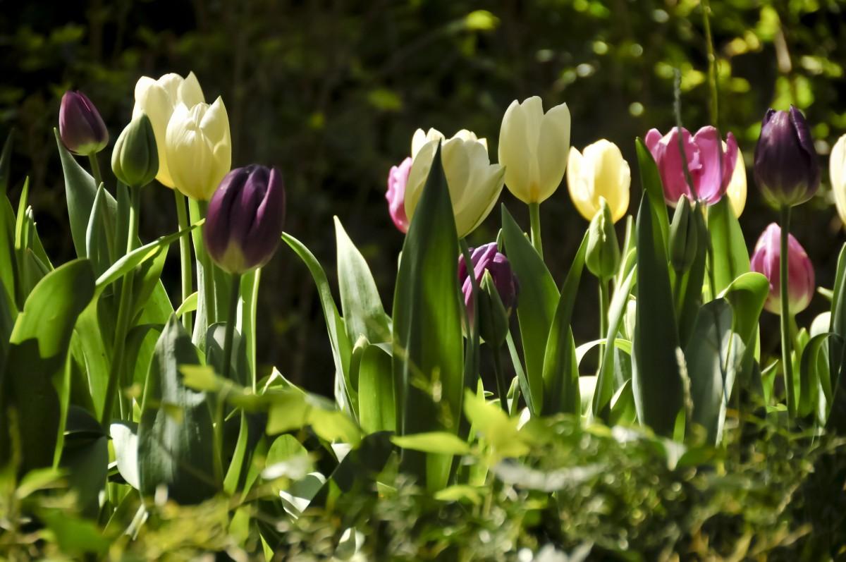 Картинки с тюльпанами и весной