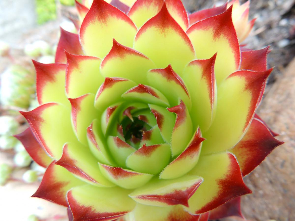 картинки цветет агава лариса