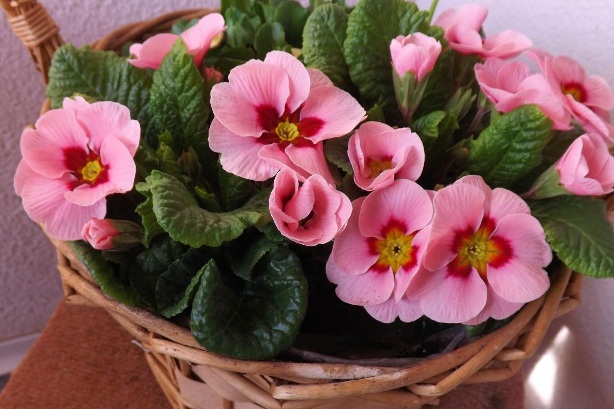 Gratis billeder : blomst, kronblad, forår, lyserød, blomster, alpeviol, viola, begonia, primula ...