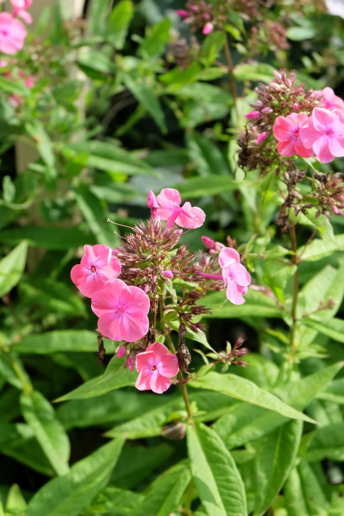 Images gratuites floraison couleur botanique color rose flore farbenpracht arbuste - Beau jardin rose and geranium ...