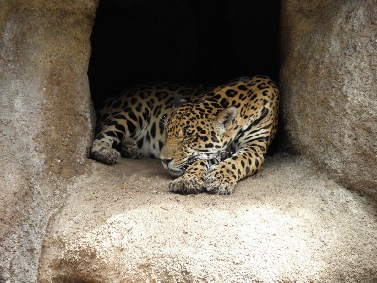 Darmowe Zdjęcia Dzikiej Przyrody Ogród Zoologiczny Kot Fauna