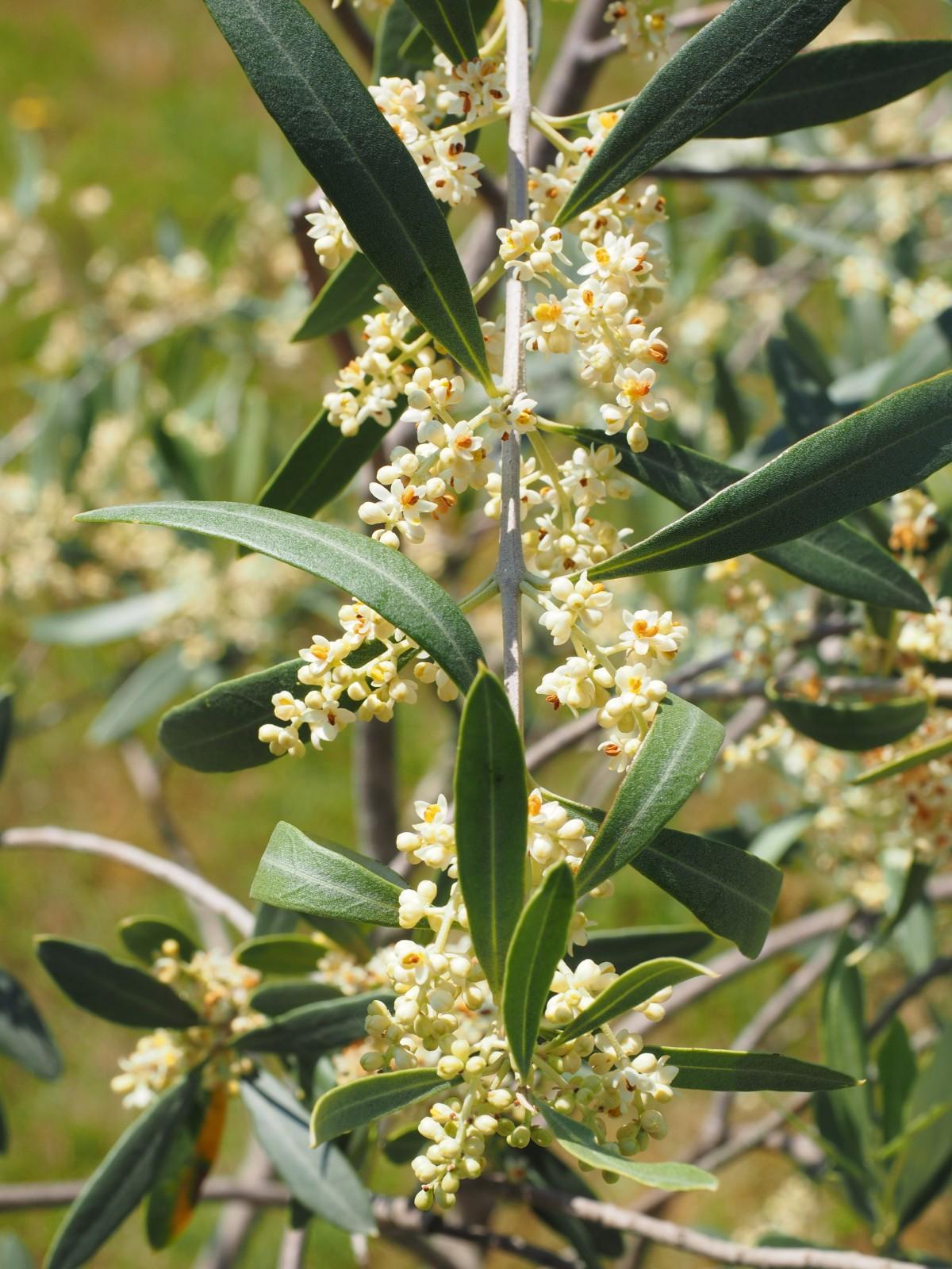Fotos gratis rbol fruta flor comida hierba produce for Arboles de hoja perenne informacion