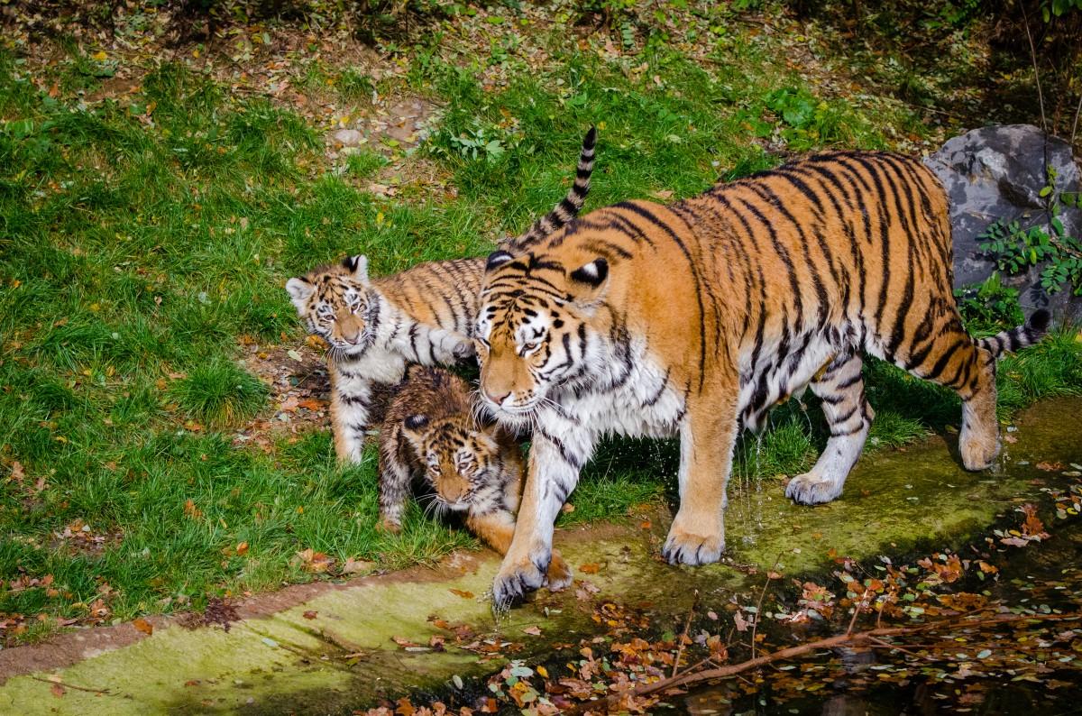 Giochi delle tigri