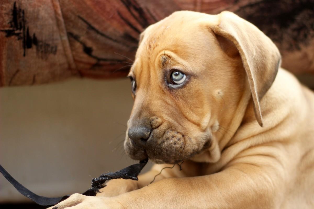 images gratuites chiot chien animal b te vert br mastiff boerboel dogue de bordeaux. Black Bedroom Furniture Sets. Home Design Ideas