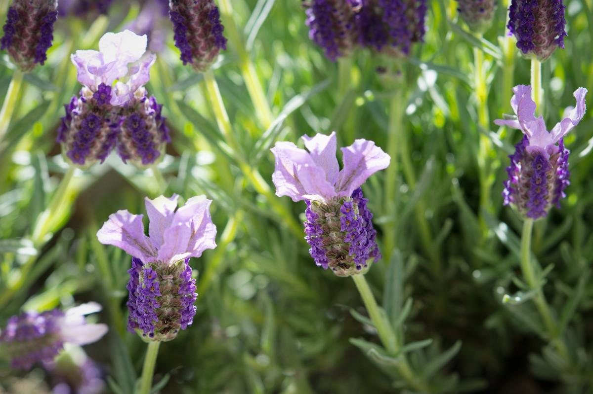 Kostenlose foto natur wiese blume gr n kraut - Duftende gartenpflanze ...