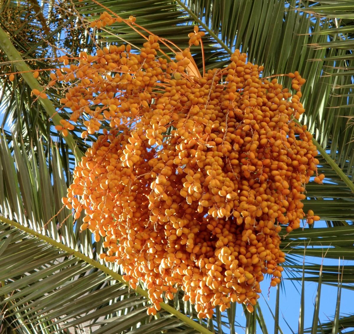 как цветет финиковая пальма фото предлагают