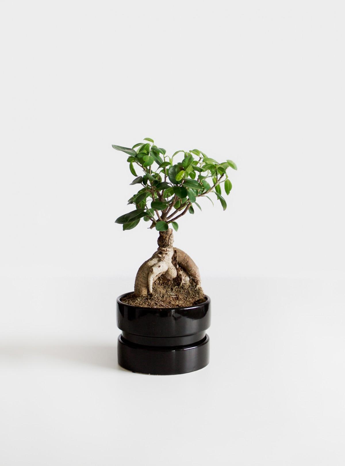 Kostenlose foto baum natur ast wachstum lebensmittel - Bonsai zimmerpflanze ...