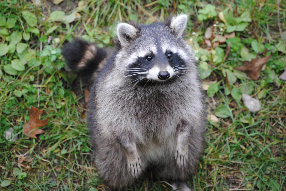 Free Images : animal, wildlife, mammal, fauna, raccoon ...