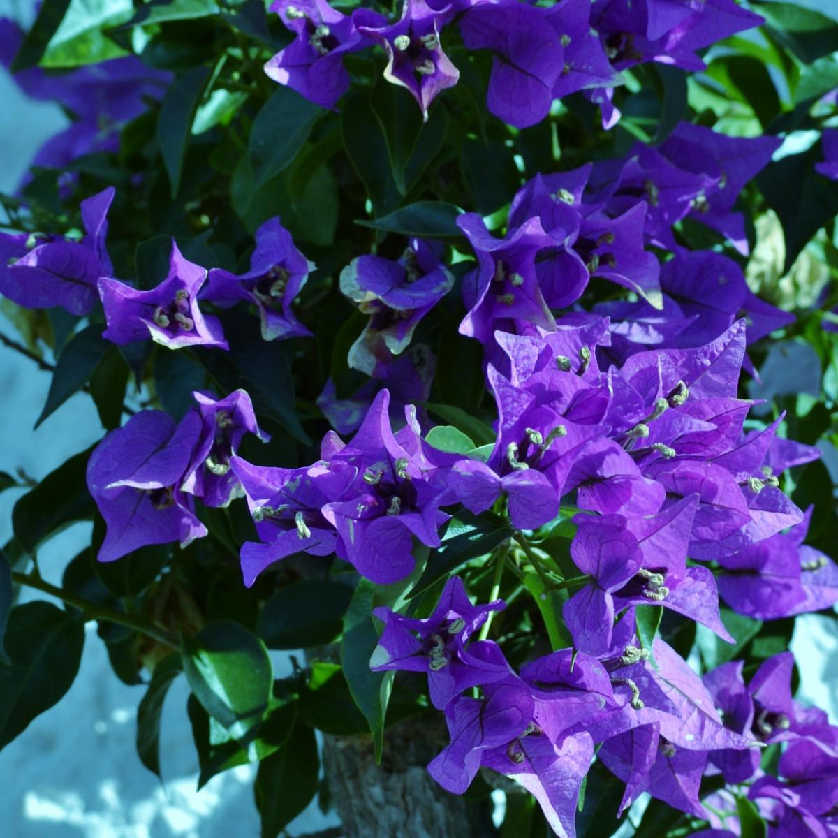 kostenlose foto blume lila bl tenblatt sommer busch bl hen garten flora jahreszeit. Black Bedroom Furniture Sets. Home Design Ideas