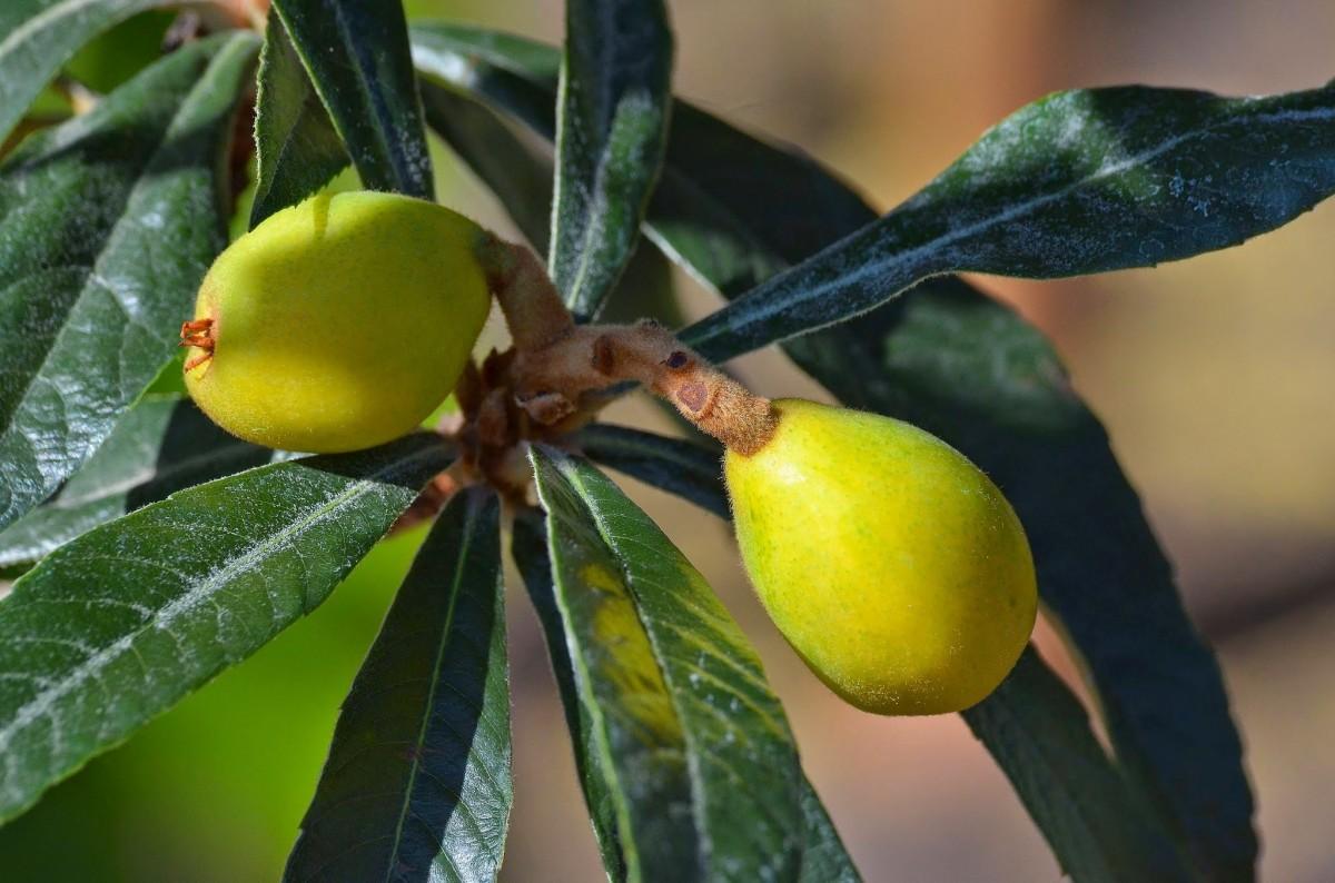 Images gratuites arbre branche fruit fleur aliments produire feuilles persistantes - Arbuste japonais fleur jaune ...