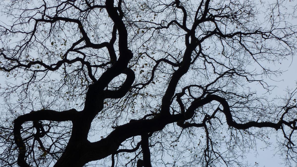 Tiga burung gagak hitam duduk di pohon