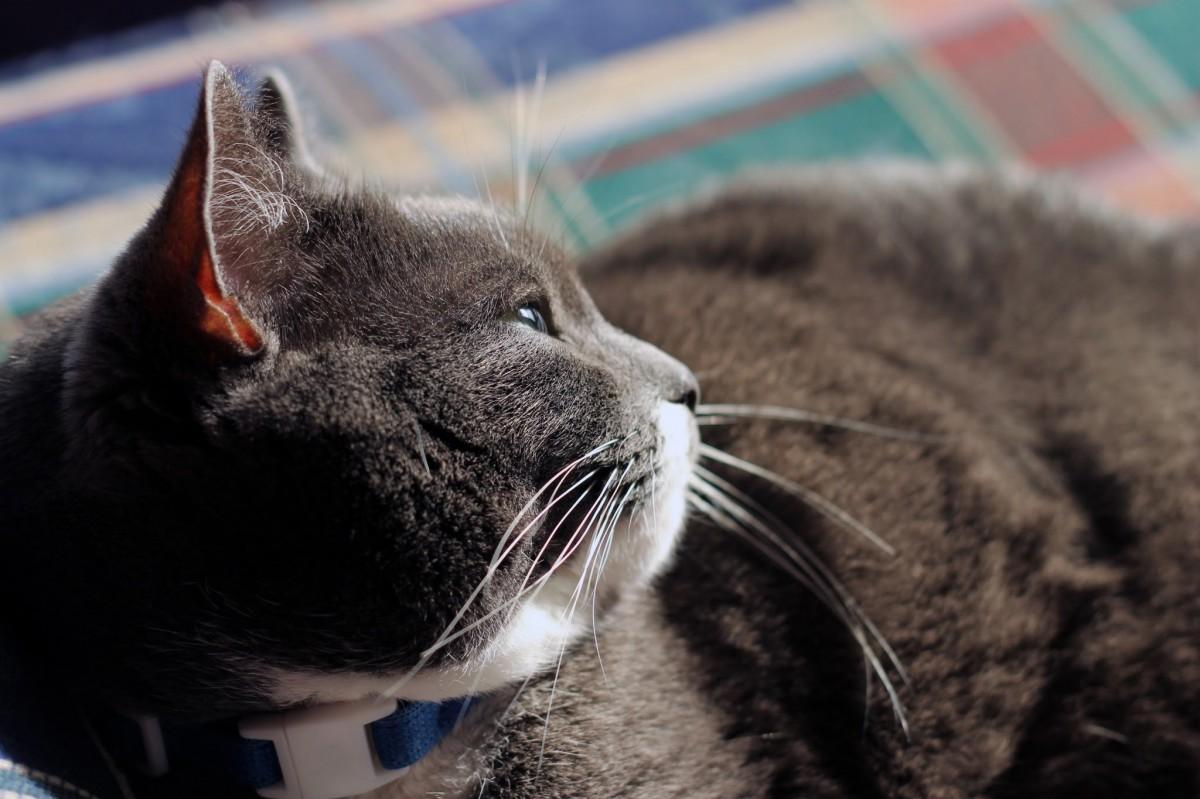 Veľký tuk mačička obrázok