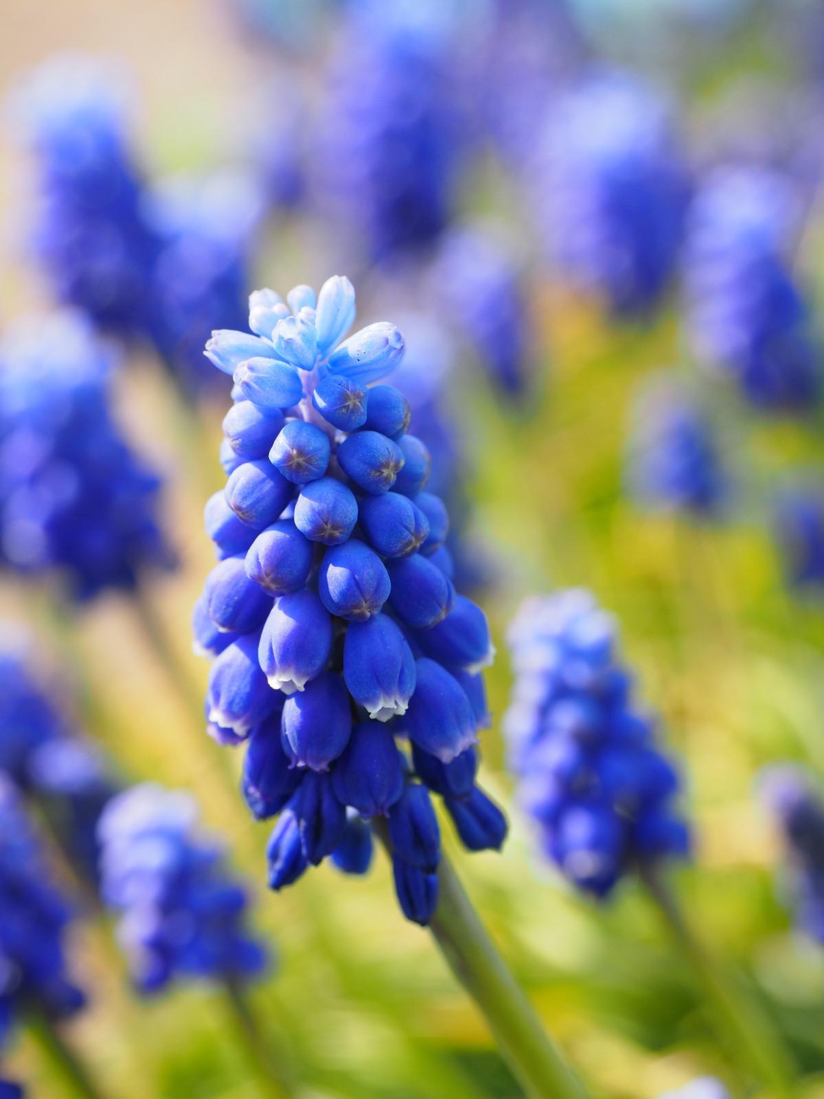 Растения с синими цветами фото